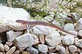Eurycea nana FWS 20413.jpg