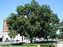 pecan tree in abilene texas