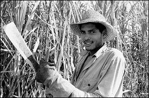 Zafra (agriculture) - A sugar cane cutter in Cuba during zafra