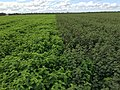 Excellent Desmanthus crop cuLtivar JCU 1 and JCU 2 at Mareeba Queensland. 3715.jpg