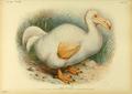 Extinctbirds1907 P25 Didus solitarius0337.png