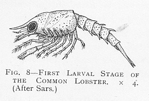 Meroplankton - First Larval Stage of the Common Lobster