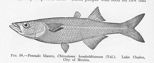 500px fmib 51635 pescado blando, chirostoma humboltianum (val) lake chalco, city of mexico