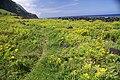 Fajã Rasa, grande povoamento de Cubres, Solidago sempervirens, Toledo, Velas, ilha de São Jorge, Açores.JPG