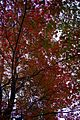 Fall-red-green-tree - West Virginia - ForestWander.jpg