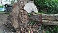 Fallen Bodhi Tree - 2018-04-17 Norwester Aftermath - Padmapukur Water Treatment Plant Road - Howrah 20180418081310.jpg