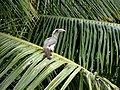 Famous but rare Indian Gray Hornbill.jpg