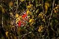 Farfalla - Inachis io - Aglais io - Vanessa.jpg
