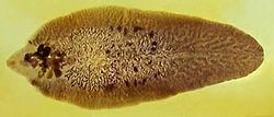 a fascioliosis patogén morfológiája)