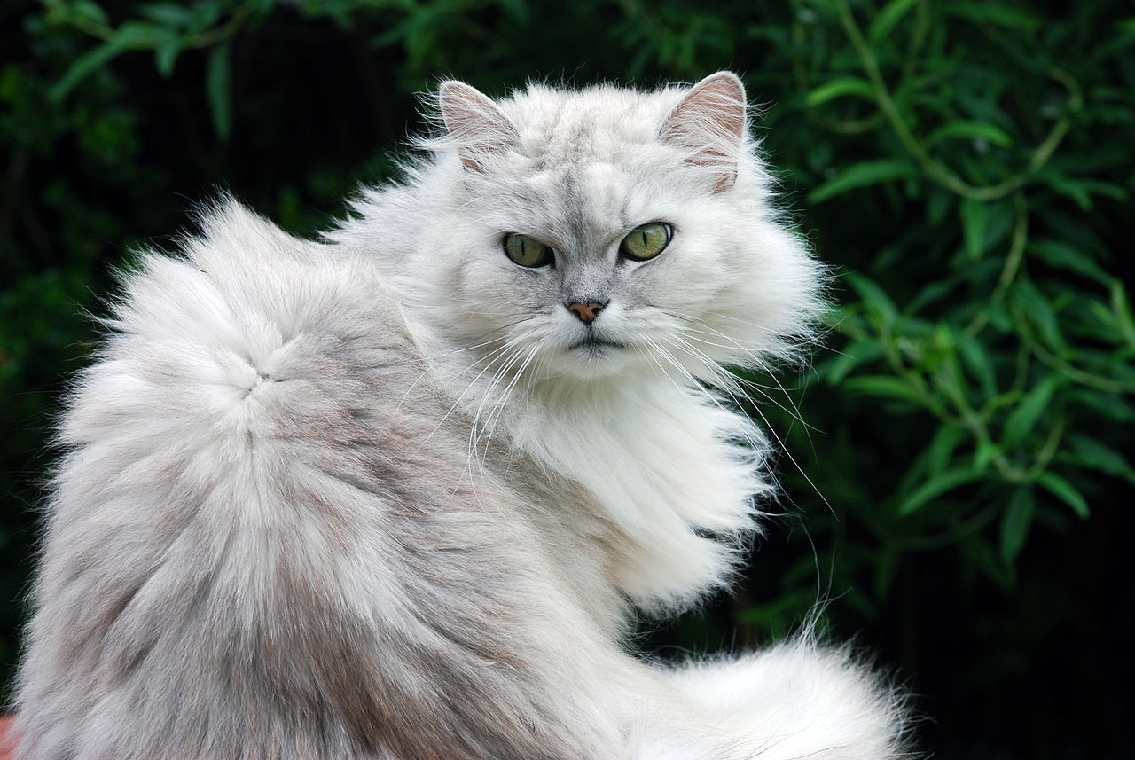 Filefat Cat 2555769003jpg Wikimedia Commons