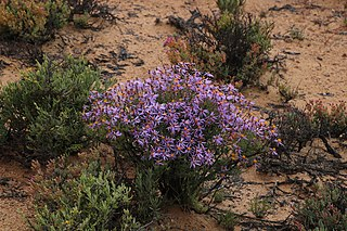 <i>Felicia brevifolia</i> A shrublet in the daisy family from South Africa and Namibia