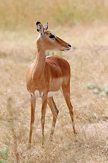 impala wikipedia the free encyclopedia