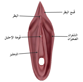 Female reproductive system-ar1.png