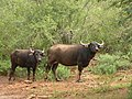 Feral buffaloes AJTJohnsingh.jpg