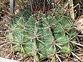 Ferocactus peninsulae to.jpg