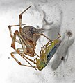 Ficheiro-Araña alimentándose de Auchenorrhyncha. Bastavales, Brión, 090905.jpg