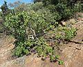 Ficus abutilifolia, habitus, Wonderboom NR, a.jpg