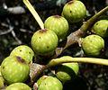Ficus ingens, vye, Eugene Marais Park, b.jpg