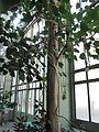 Ficus religiosa (Jardin des Plantes de Paris).jpg