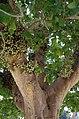 Ficus sycomorus in Tel Aviv-Yafo 03.jpg