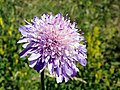 Field Scabious (Knautia arvensis) (7655958336).jpg