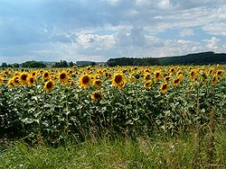 Field of Sunflower.jpg