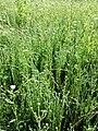 Filago vulgaris sl273.jpg