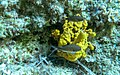 Fish on yellow (37482471956).jpg