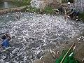 Fish roundup - panoramio.jpg