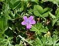 Fleur de Géranium colombin près de Chambéry (printemps 2021).JPG