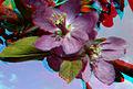 Flickr - jimf0390 - JimF 04-27-10-0042b crab apple blossoms.jpg