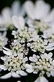 "Flower, Orlaya grandiflora ""White Lace Flower"" - Flickr - nekonomania (1).jpg"