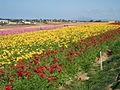 Flower feld 10.jpg