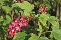 Flowering Currant Ribes sp., Baltasound - geograph.org.uk - 1276708.jpg