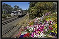 Flowers beside the Toowoomba Range rail tracks-4 (10351449744).jpg