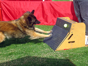 Flyball - The dog jumps on a box releasing a tennis ball.