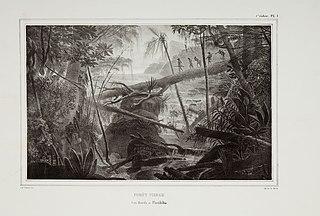 Forêt vierge. Les bords du Parahiba