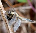 Four-spotted Chaser. Libellula quadrimaculata - Flickr - gailhampshire.jpg