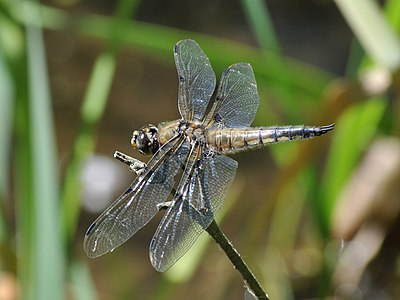 A Four-spotted Chaser (Libellula quadrimaculata) on a branch by a pond.