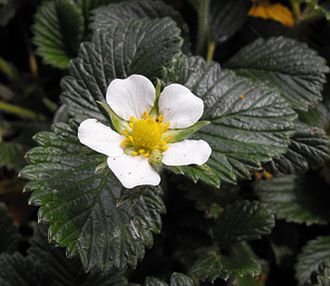 Fragaria - Flower of Fragaria nilgerrensis, an Asian species