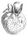 Fraise Carolina superba Vilmorin-Andrieux 1883.png
