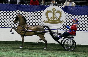 Hackney pony - Hackney pony and 2007 Horse of the Year nominee, Free Willy, in Road Pony competition