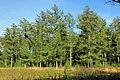Fresh new needles at this Larch trees (Lariks) at NP Hoge Veluwe at 21 April 2015 - panoramio.jpg