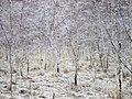 Frost på björkar Hogrän Gotland.jpg