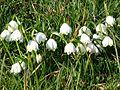 Fruehlings-Knotenblume Münchham.JPG