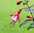 Fuchsia 'Twinny'. Bloeiwijze 05.jpg