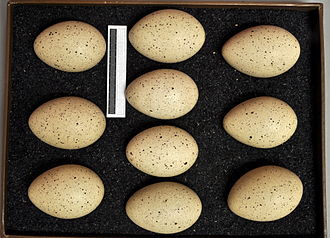 Eurasian coot - Eggs, Collection Museum Wiesbaden, Germany
