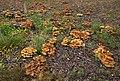 Fungi in Kinkomaa.jpg