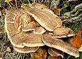 Fungus, Lisburn (4) - geograph.org.uk - 1517671.jpg