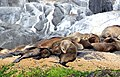 Fur seals at Montague island nature reserve, Narooma, NSW.JPG